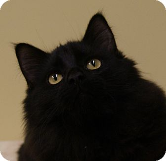 Maine Coon Kitten for adoption in Dundee, Michigan - Cola - Adoption Pending