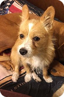 Terrier (Unknown Type, Small) Mix Dog for adoption in DeForest, Wisconsin - Tippy