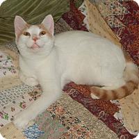 Adopt A Pet :: TURKEY - TURKISH VAN SWEETNESS - Plano, TX