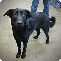 Adopt A Pet :: Char - West Richland, WA