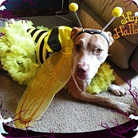 American Pit Bull Terrier/Hound (Unknown Type) Mix Dog for adoption in Spring Hill, Florida - Molly