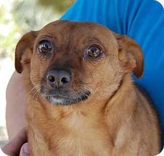 Chihuahua/Dachshund Mix Dog for adoption in Las Vegas, Nevada - Bonnie