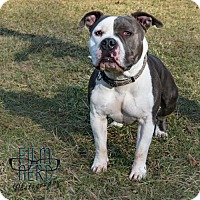 Pit Bull Terrier Mix Dog for adoption in Centerburg, Ohio - Dodge