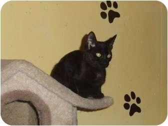 Domestic Shorthair Kitten for adoption in Barnegat, New Jersey - Licorice