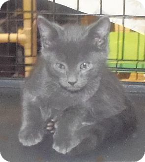 Domestic Shorthair Kitten for adoption in Catasauqua, Pennsylvania - Bode