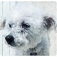 Adopt A Pet :: Bliss - Long Beach, CA
