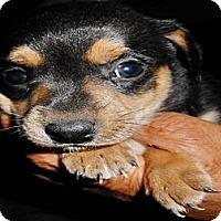 Adopt A Pet :: Venus - San Diego, CA