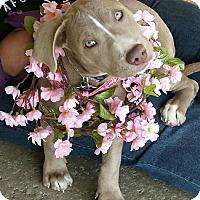 Adopt A Pet :: BREE - Redondo Beach, CA