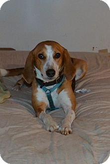Treeing Walker Coonhound Mix Dog for adoption in Bakersville, North Carolina - Dolly