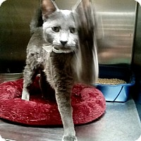 Adopt A Pet :: persephone - New York, NY