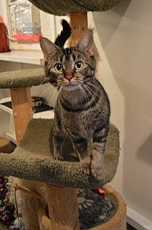 Domestic Shorthair Cat for adoption in Ashland, Ohio - Sweet Mama