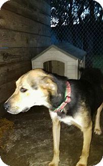 Shepherd (Unknown Type)/Labrador Retriever Mix Dog for adoption in springtown, Texas - Roxie