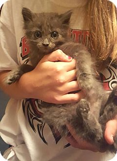 Domestic Mediumhair Kitten for adoption in Exton, Pennsylvania - Luna