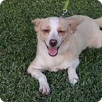Adopt A Pet :: Miss Molly Lane, a Corgi- Terrier mix - Arlington, WA