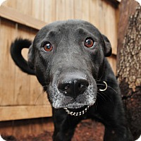 Labrador Retriever Mix Dog for adoption in Houston, Texas - Renley