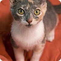 Domestic Shorthair Kitten for adoption in New Orleans, Louisiana - Taco