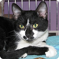Domestic Shorthair Cat for adoption in New Kensington, Pennsylvania - Smudge
