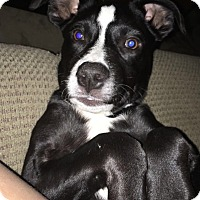 Adopt A Pet :: STELLA - knoxville, TN