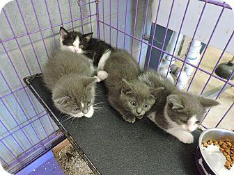 Domestic Shorthair Kitten for adoption in Monterey, Virginia - Josie $35 adoption