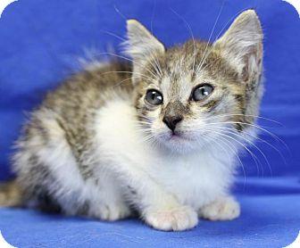 Domestic Shorthair Kitten for adoption in Winston-Salem, North Carolina - Matilda