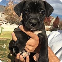 Adopt A Pet :: Chuck (DENVER) - Fort Collins, CO