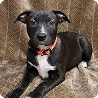 Adopt A Pet :: Chloe - York, PA