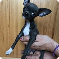 Chihuahua Puppy for adoption in Redmond, Washington - Volcano Girl