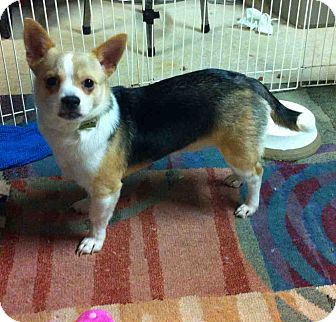 Chihuahua Mix Puppy for adoption in Loudonville, New York - Bear