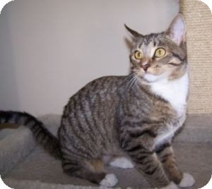 Domestic Shorthair Kitten for adoption in Colorado Springs, Colorado - Starlight