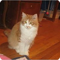 Adopt A Pet :: Maine Coon Group - Clay, NY