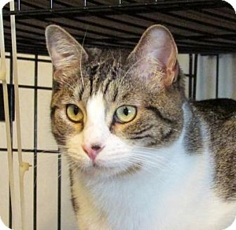 Domestic Shorthair Cat for adoption in Valley Center, California - Stevie