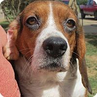 Adopt A Pet :: Clair - Westport, CT