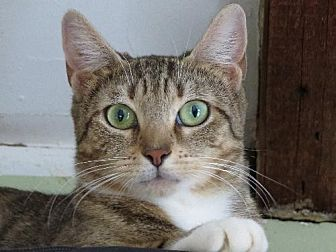 Domestic Shorthair Cat for adoption in Woodland Park, New Jersey - PREZIOSA