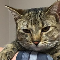Domestic Shorthair Cat for adoption in Lima, Ohio - 05/01/2013