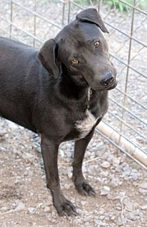 Labrador Retriever Mix Dog for adoption in Shelbyville, Tennessee - Sam