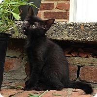 Adopt A Pet :: Indigo - Gainesville, VA