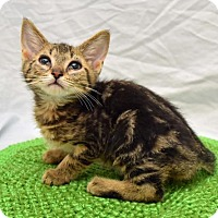 Domestic Shorthair Kitten for adoption in Greenfield, Indiana - Bain