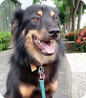 Bernese Mountain Dog Mix Dog for adoption in San Francisco, California - Ken