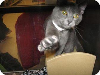 Russian Blue Cat for adoption in Logan, Utah - Czar