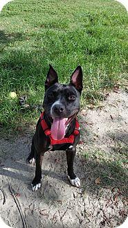 Labrador Retriever Mix Dog for adoption in Charlotte, North Carolina - Roxie