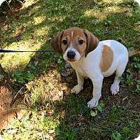 Adopt A Pet :: Charlie (rbf) - Washington, DC