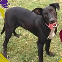 Labrador Retriever Mix Dog for adoption in Dallas, Texas - Anna