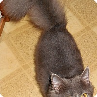 Domestic Longhair Cat for adoption in Chattanooga, Tennessee - Murf (special needs)