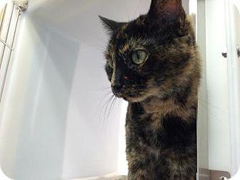 Domestic Shorthair Cat for adoption in Cumming, Georgia - Sarafine