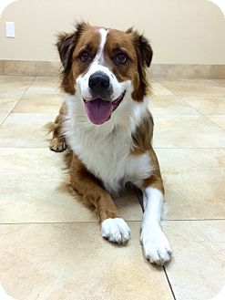 Australian Shepherd Mix Dog for adoption in Mission Viejo, California - Fluffy