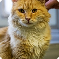 Adopt A Pet :: Mr. Darcy - Indianapolis, IN