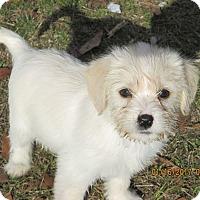 Adopt A Pet :: Gizmo - West Springfield, MA