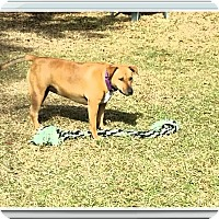 Bull Terrier Mix Dog for adoption in Ruskin, Florida - Mocha