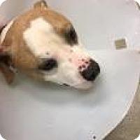 Adopt A Pet :: Bratwurst 8636 - Columbus, GA