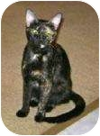 Domestic Shorthair Cat for adoption in Indian Rocks Beach, Florida - Molly II